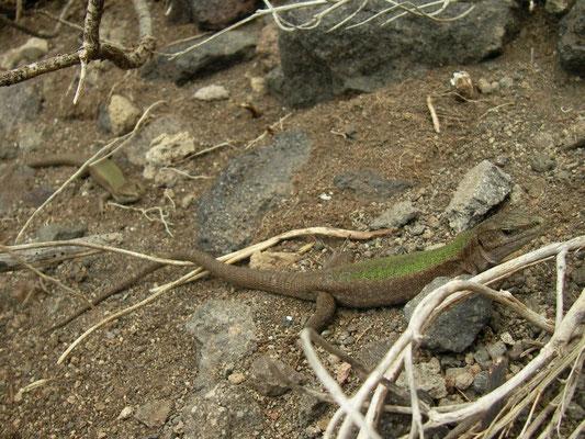 Aeolian Wall Lizards (Podarcis raffonei alvearioi), Scoglio Faraglione, Salina, Italy, April 2014