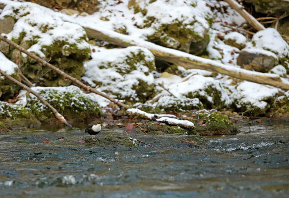 Another White-throated Dipper (Cinclus cinclus) in another stream.