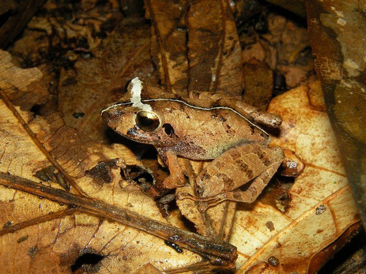 Variable rain frog (Pristimantis variabilis)