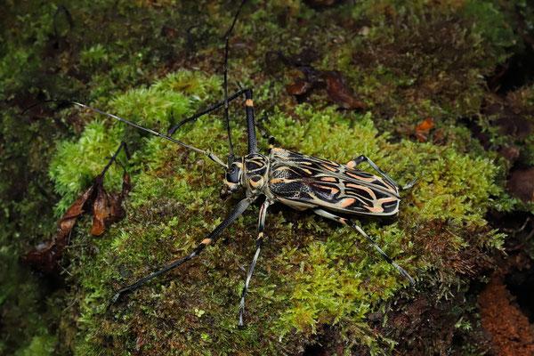 Harlequin Beetle (Acrocinus longimanus)