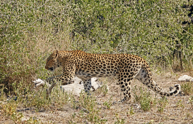 Leopard (Panthera pardus) making its way through the undergrowth.