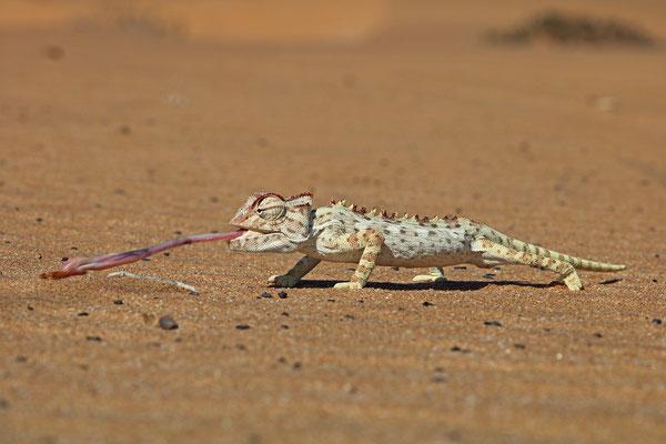 Namaqua Chameleon (Chamaeleo namaquensis) catching prey.