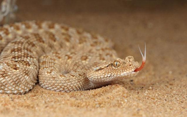 Arabian Horned Viper (Cerastes gasperettii)