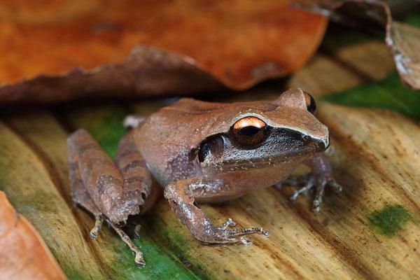 Izabal Robber Frog (Craugastor chac)