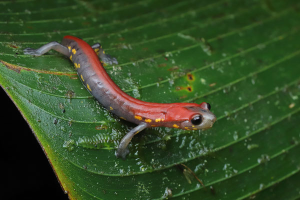 Splendid Webfoot Salamander (Bolitoglossa splendida)
