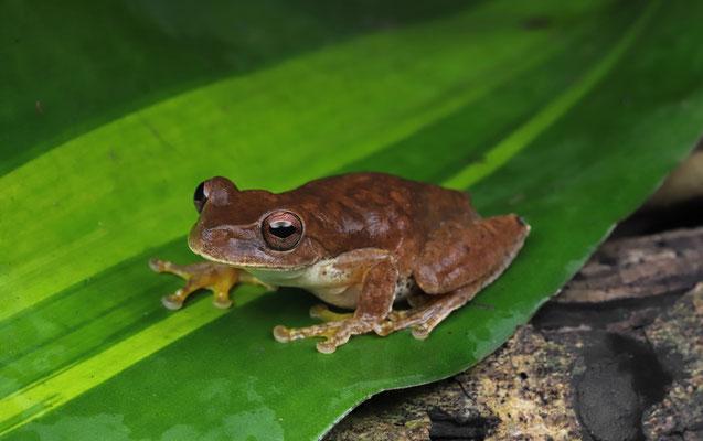 Cloud Forest Stream Frog (Ptychohyla euthysanota)