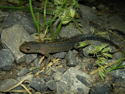 Alpine Newt (Ichthyosaura alpestris) male on the path.