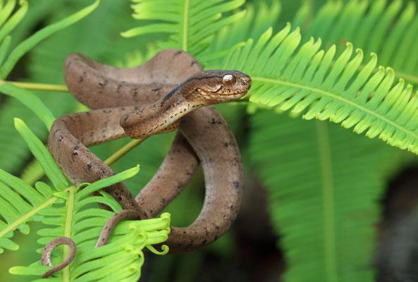 Keeled Slug-eating Snake (Pareas carinatus)