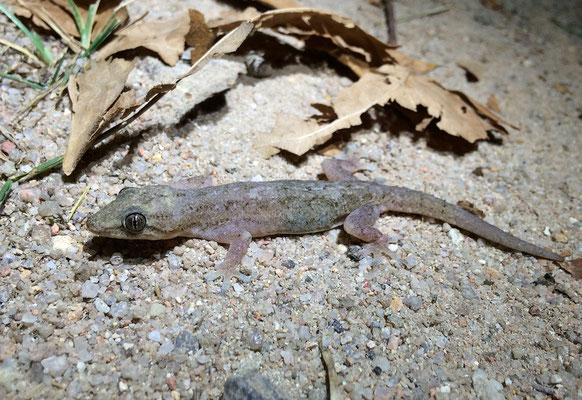 House Gecko (Hemidactylus mercatorius)