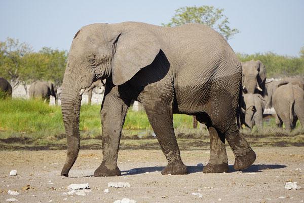 African Savanna Elephant (Loxodonta africana) © Maarten Slootjes