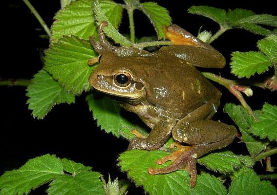 Eastern Tree Frog (Hyla orientalis)