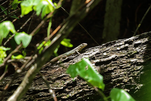 Endemic to the Motagua Valley, Guatemalan Spiny-tailed Iguana (Ctenosaura palearis) basking.