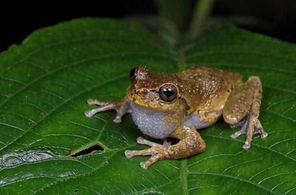 Arcane Spikethumb Frog (Plectrohyla sagorum)