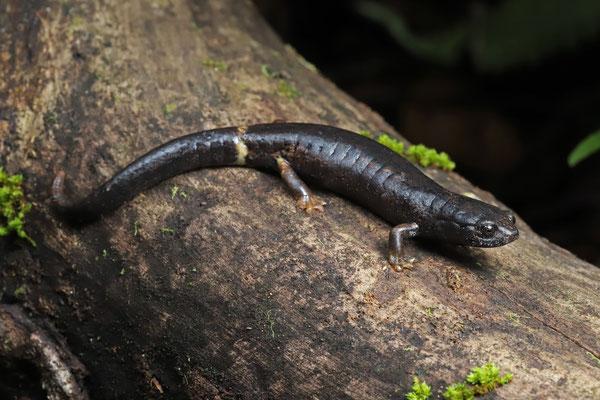 Ring-tailed Webfoot Salamander (Bolitoglossa robusta)