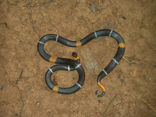 The real one: Orange-ringed Coral Snake (Micrurus hemprichii)