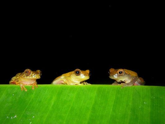 Clown treefrogs (Dendrosophus leucophyllatus)