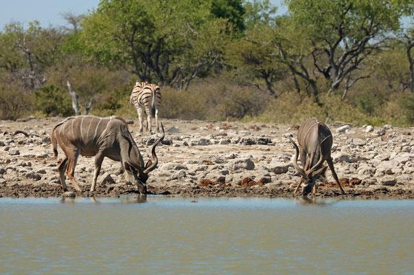 Kudu (Tragelaphus strepsiceros)