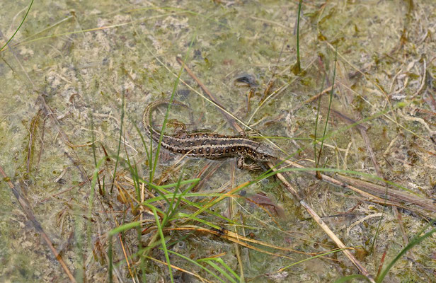 Sand Lizard (Lacerta agilis) basking in shallow water.