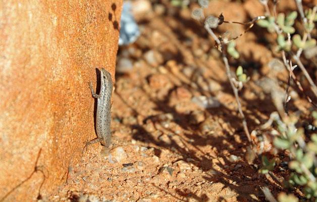 Variegated Skink (Trachylepis variegata)