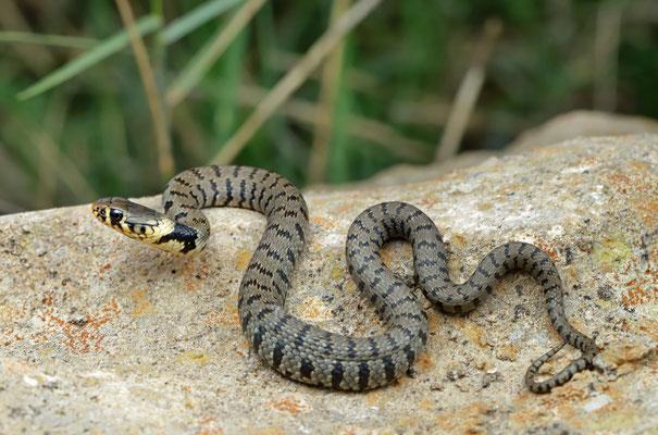 Barred Grass Snake (Natrix helvetica sicula)