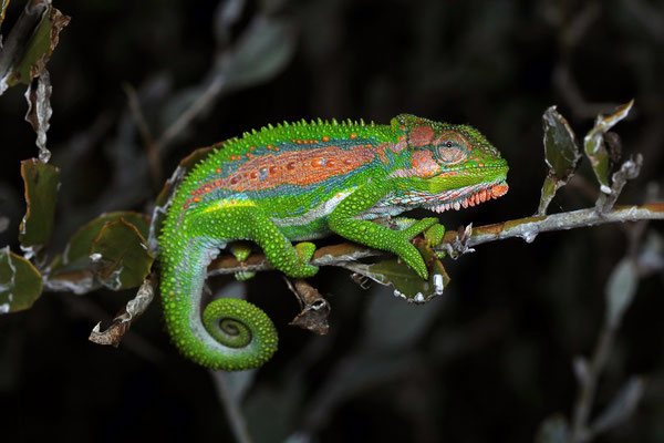 Cape Dwarf Chameleon (Bradypodion pumilum) male