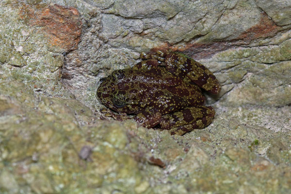 Table Mountain Ghost Frog (Heleophryne rosei) as found.