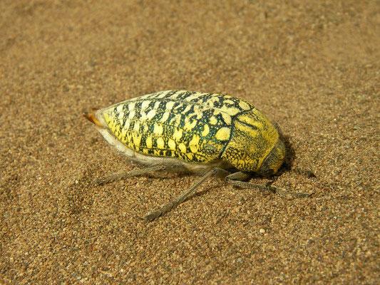 Sulphurous Jewle Beetle (Julodis euphratica)