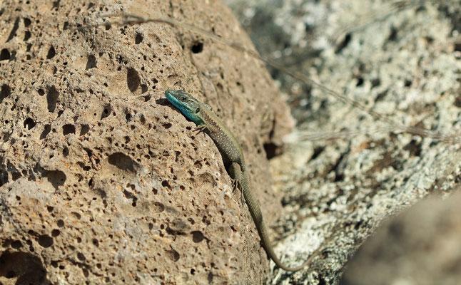 Hatay Lizard (Phoenicolacerta laevis)