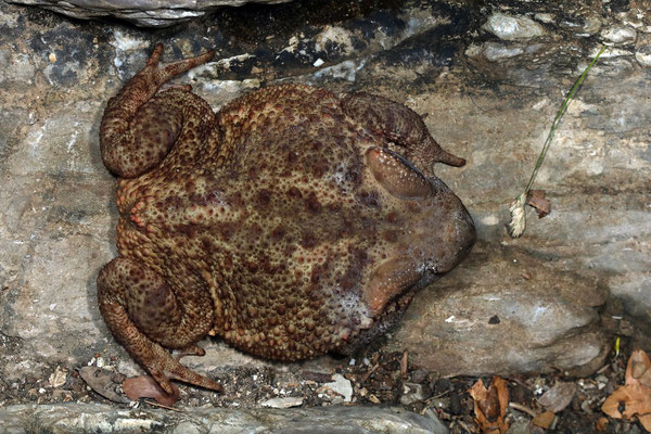 Common Toad (Bufo bufo) can get rather large in this part of Europe.