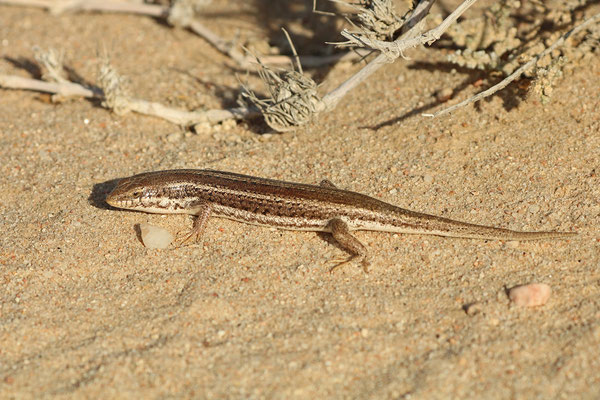 Western Three-striped Skink (Trachylepis occidentalis)