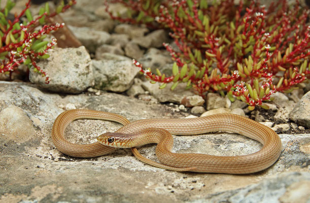 Narrow-striped Dwarf Snake (Eirenis decemlineatus)