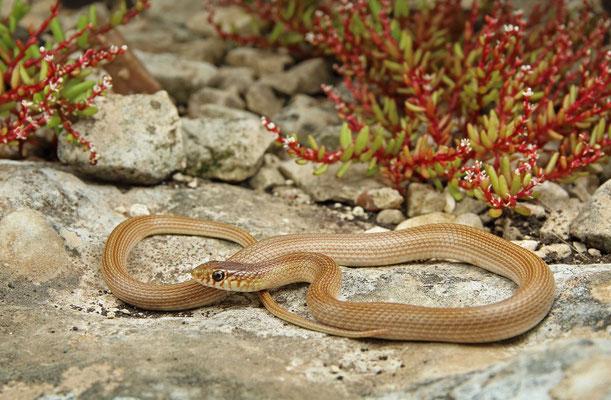 Narrow-striped Dwarf Snake (Eirenis decemlineatus)