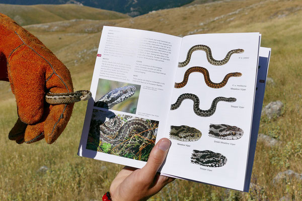 Luckily we had the book with us to identify this sneaky serpent. © Thomas Reich