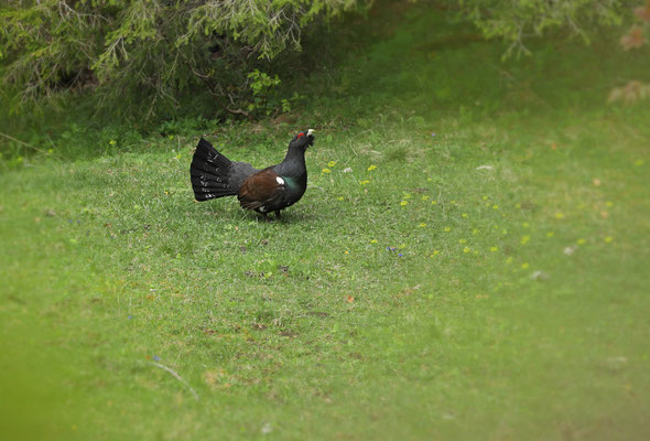 Capercaillie (Tetrao urogallus) on his lek.