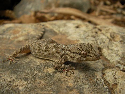 Moorish Gecko (Tarentola mauritanica), Mallorca, Spain, July 2011
