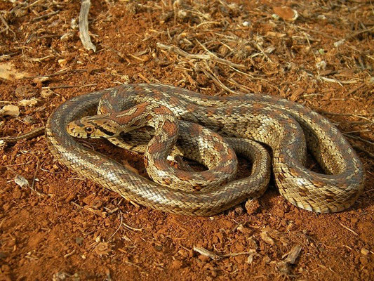 Leopard Snake (Zamenis situla) adult, Peloponnese, Greece, October 2012