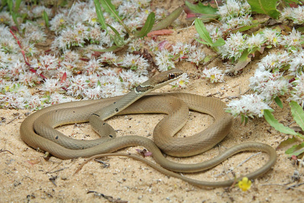 Reddish Whip Snake (Platyceps collaris)
