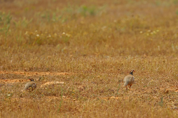 Red-legged Partridges (Alectoris rufa)