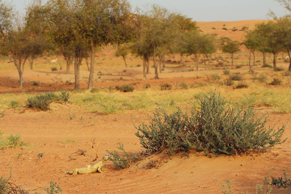 Egyptian Spiny-tailed Lizard (Uromastyx aegyptia leptieni) with an Arabian Gazelle (Gazella gazelle cora) trotting by in the background.