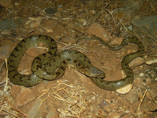 Catsnake (Telescopus fallax pallidus), Crete, Greece, August 2012