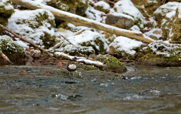 White-throated Dipper (Cinclus cinclus) with a cheeky Robin (Erithacus rubecula) photobombing.