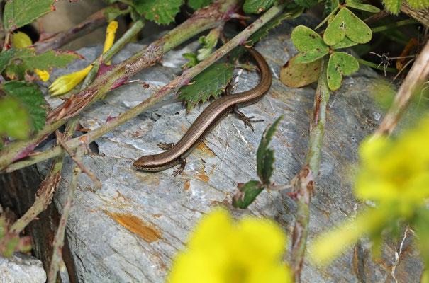 Snake-eyed Skink (Ablepharus kitaibelii fabichi) basking