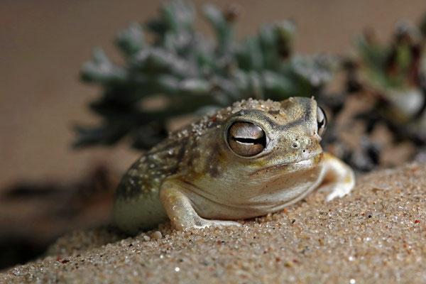 Desert Rain Frog (Breviceps macrops)