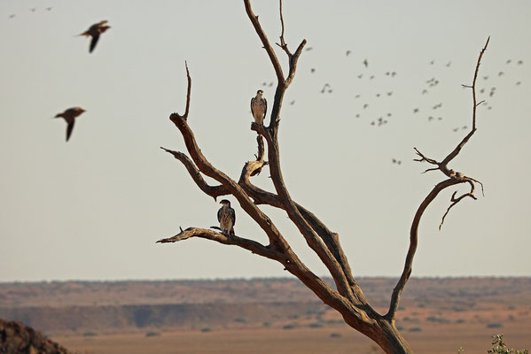 African Hawk-eagles (Aquila spilogaster)