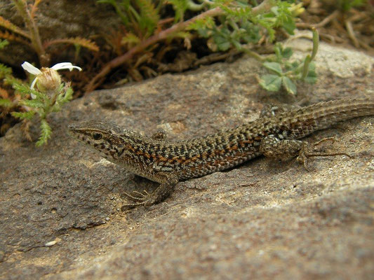 Snake-eyed Lacertid (Ophisops elegans ssp. centralanatoliae)