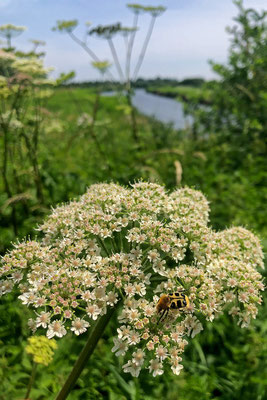 Bee Beetle (Trichius spec.)