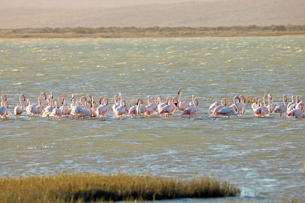 Flock of Greater Flamingos (Phoenicopterus roseus)