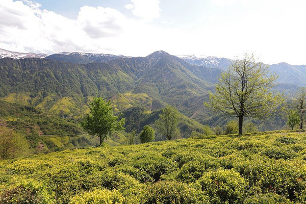 The edges of tea plantages form a typical habitat of a Caucasian species of snake.