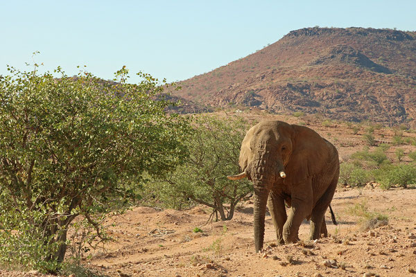 A lone bull Desert Elephant (Loxodonta africana).