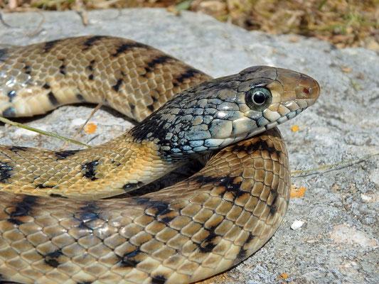 Algerian Whip Snake (Hemorrhois algirus) male